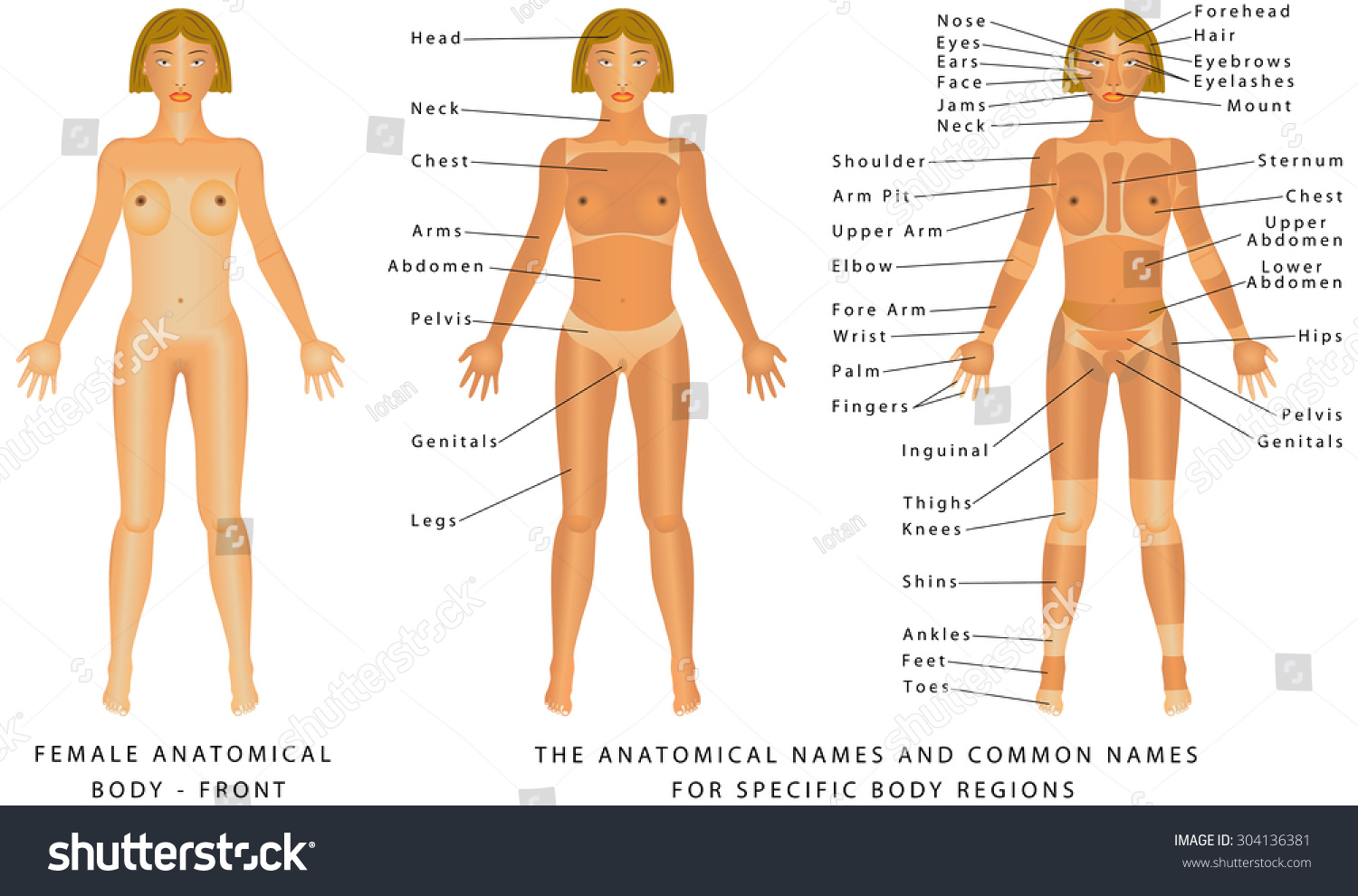 Female Body Front Surface Anatomy Human Stock Vector Royalty Free