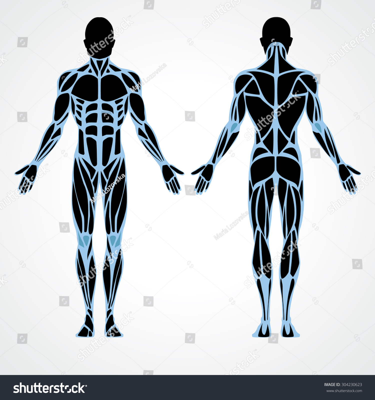 male muscular anatomy vector scheme - posterior and anterior view, Muscles
