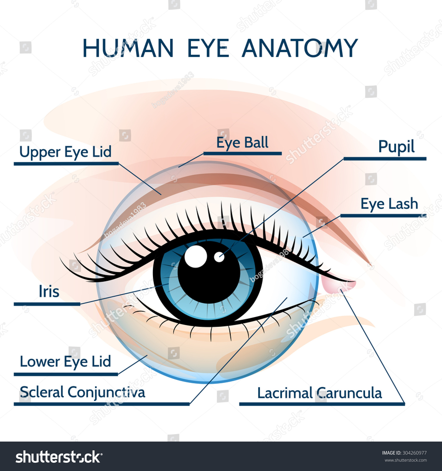 Human Eye Anatomy Illustration Only Free Stock Vector (Royalty Free ...