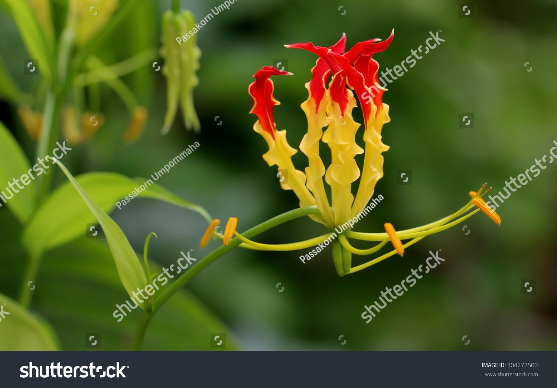 Gloriosa Superba Climbing Lily Climber Spectacular Stock Photo Edit