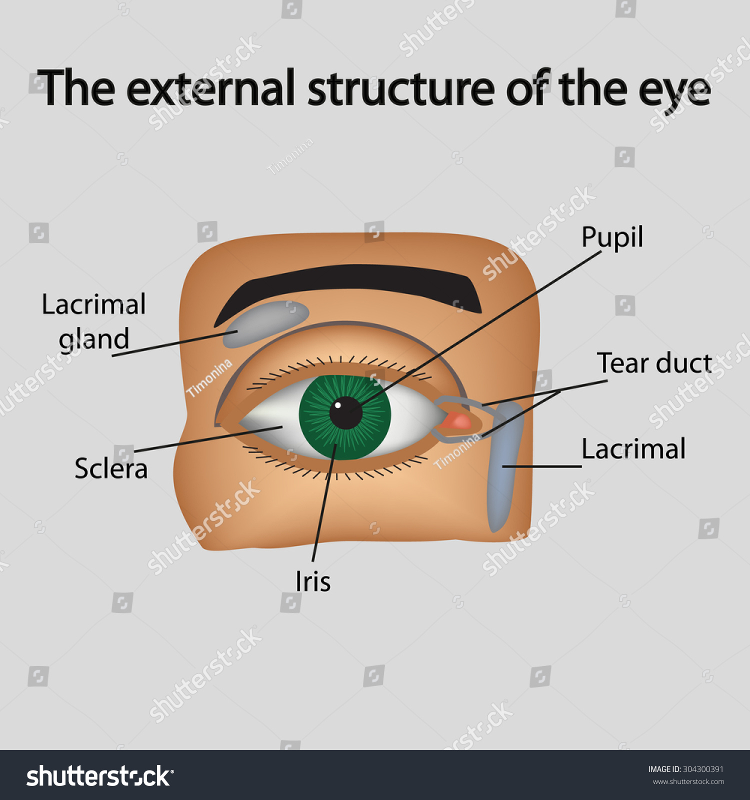 Royalty Free Stock Illustration of External Structure Eye Stock ...