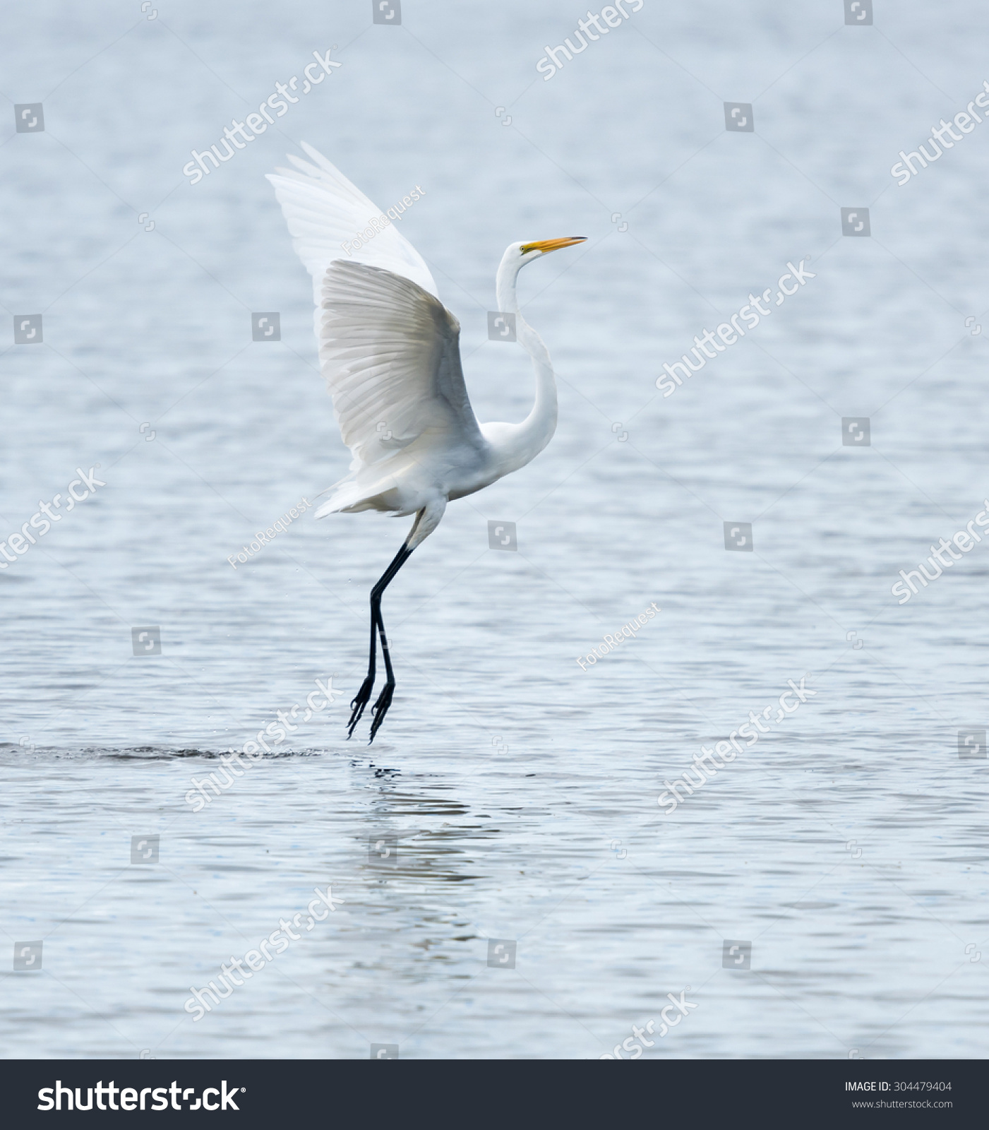 Great Egret Landing Stock Photo 304479404 Shutterstock