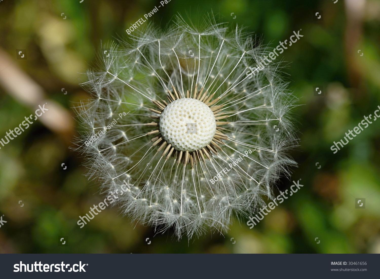 contemporary dandelion head floral - photo #40