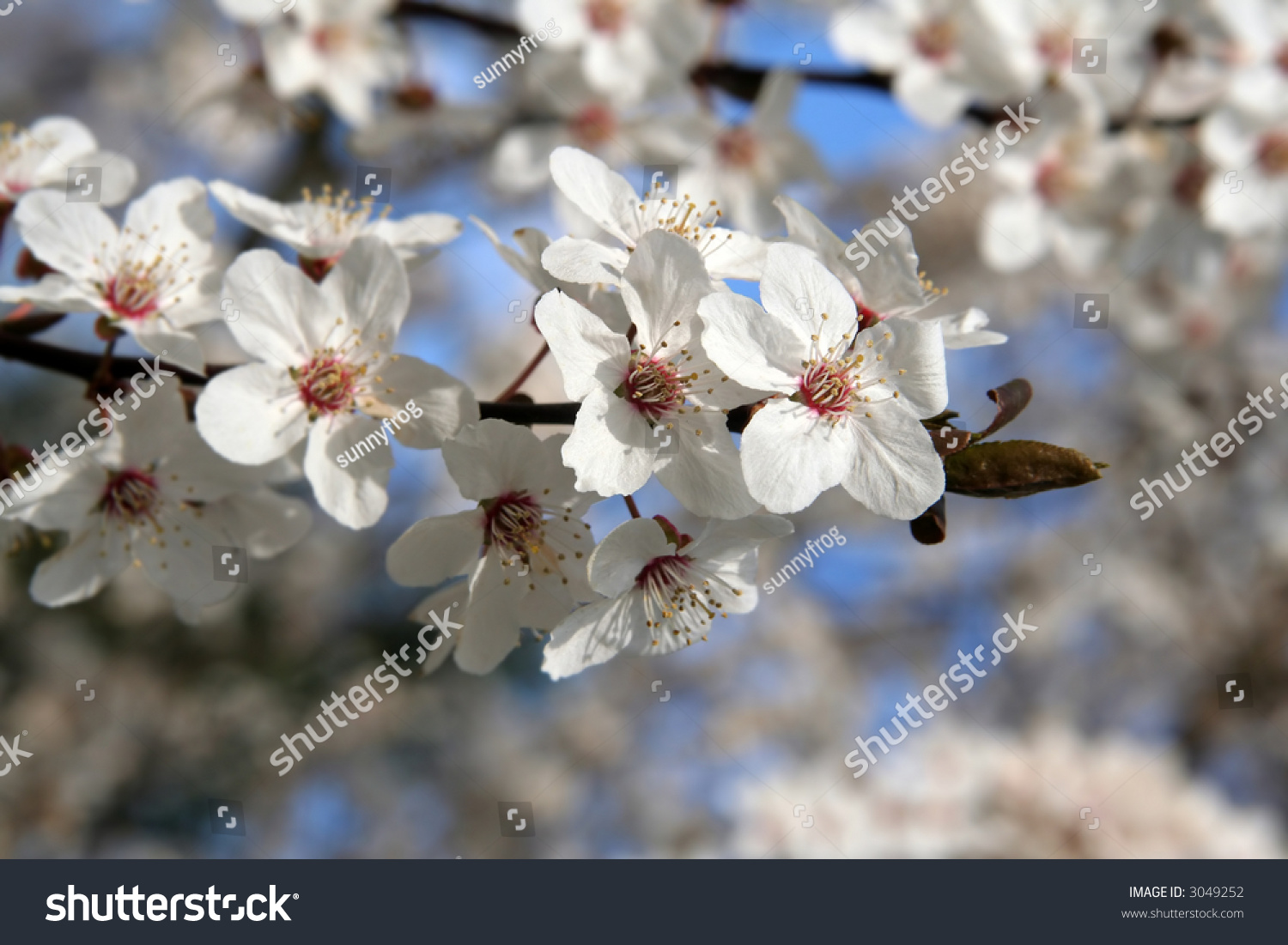 Spring White Plum Flower On The Sky Ez Canvas