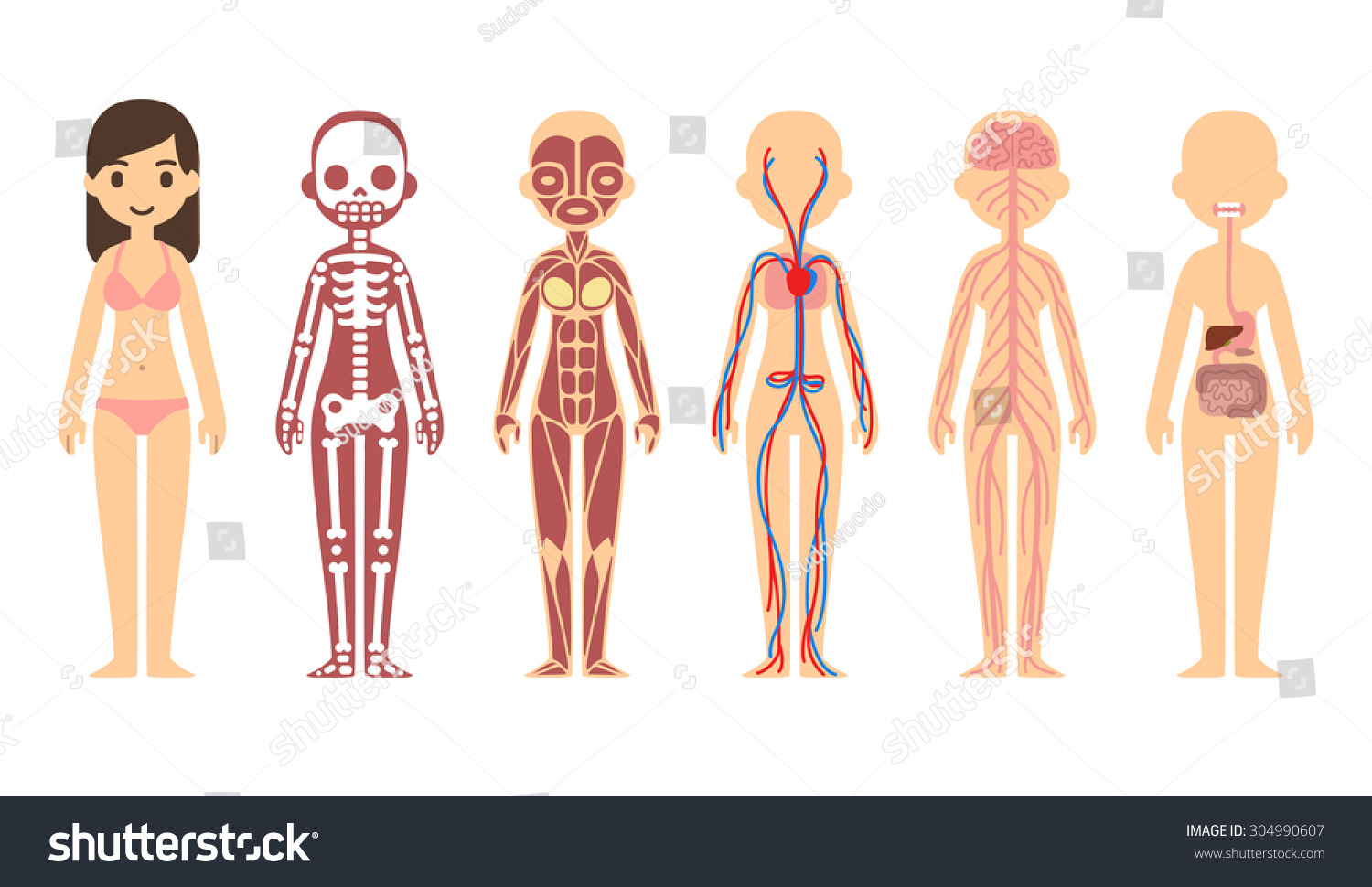 Female Body Anatomy Chart Skeletal Muscular Stock Vector Royalty
