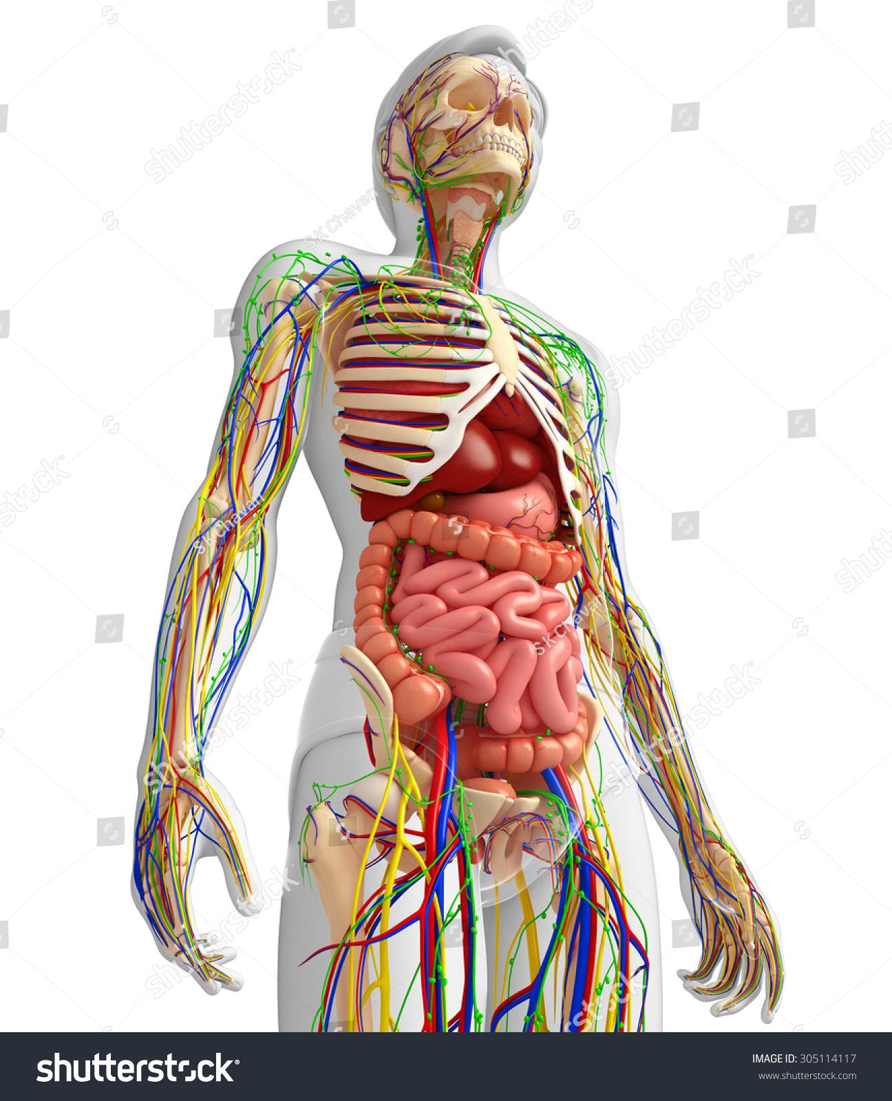 Illustration Lymphatic Skeletal Nervous Circulatory System