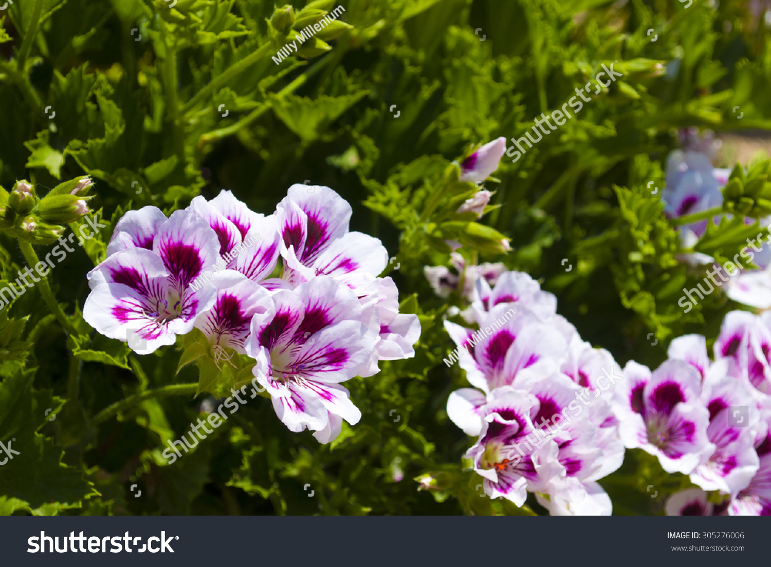 White Pink Flower Bush Stock Photo 100 Legal Protection 305276006
