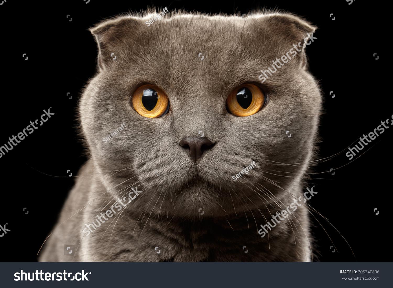 Closeup Portrait British Fold Cat Stock