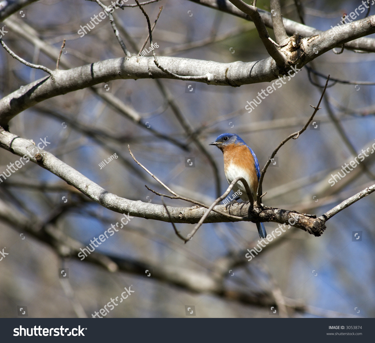 Eastern Blue Bird Perched Tree Stock Photo 3053874 ...