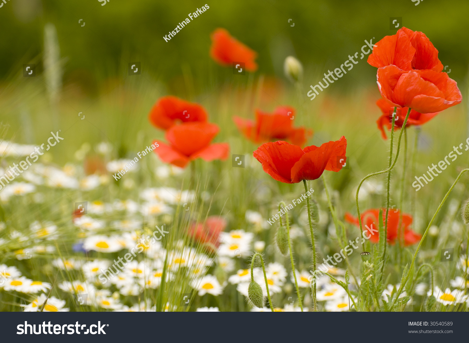 Field With Poppy Flowers And Yellow Flowers Ez Canvas