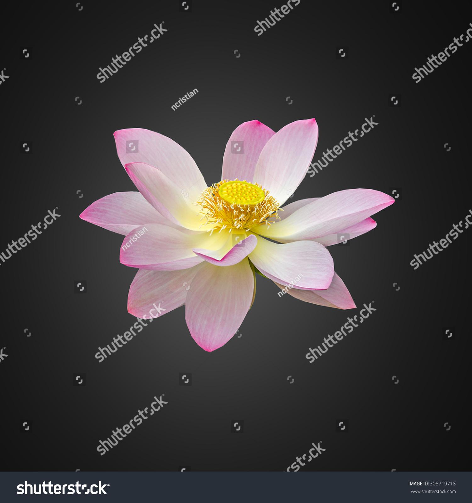 Pink white yellow nuphar flower water lily pond lily pink white yellow nuphar flower water lily pond lily spatterdock nelumbo nucifera also known as indian lotus sacred lotus bean of india lotus izmirmasajfo