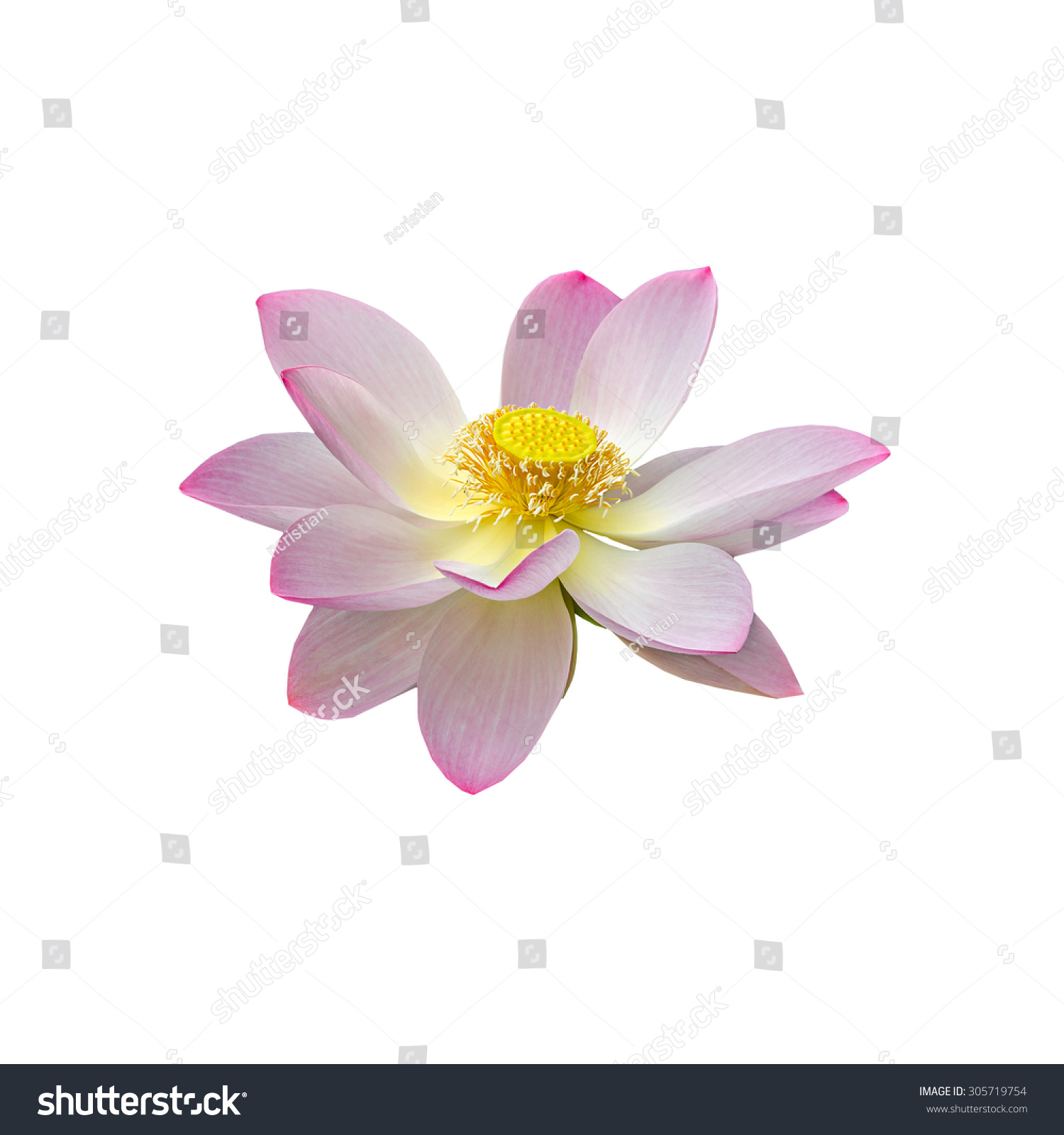 Pink white yellow nuphar flower water lily pond lily id 305719754 izmirmasajfo