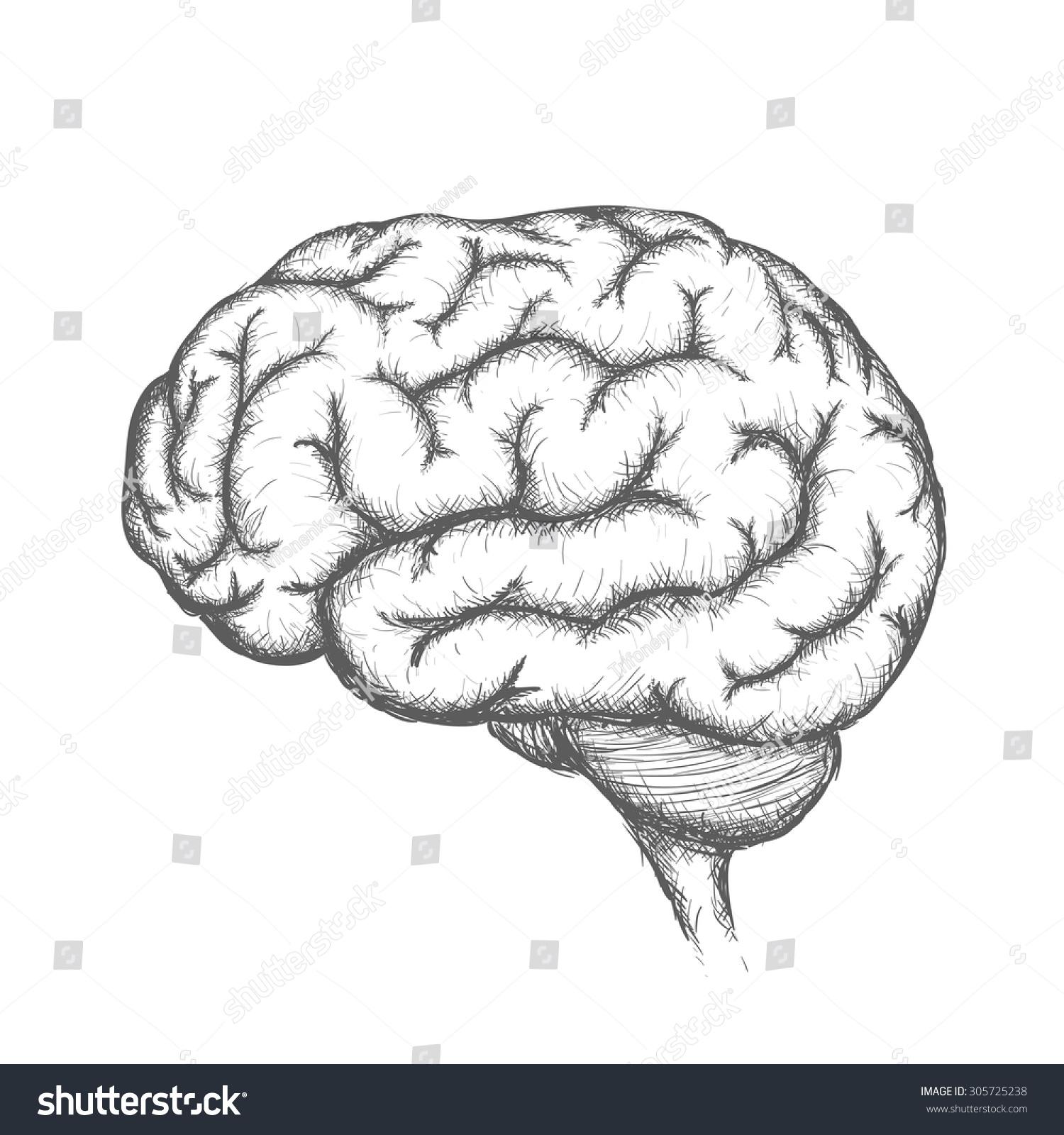 Human Brain Anatomical Organ Stock Vector Stock Vektorgrafik