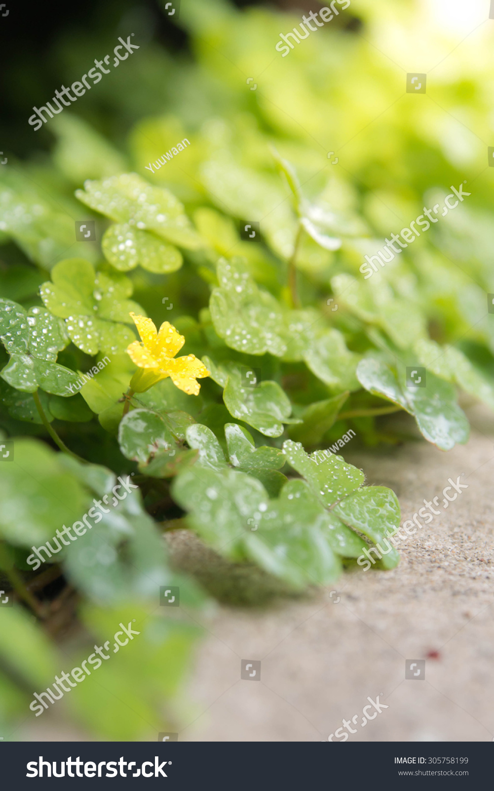 Lucky Green Clovers Background Little Yellow Stock Photo Royalty