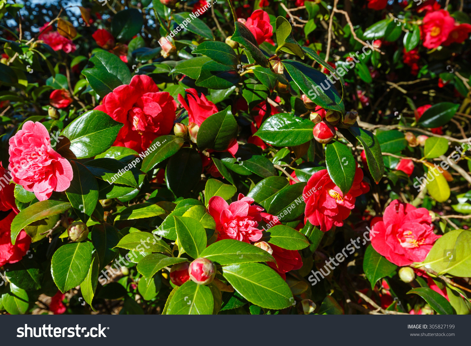 Blossoming Camellia Bush Red Flowers Thick Stock Photo Edit Now