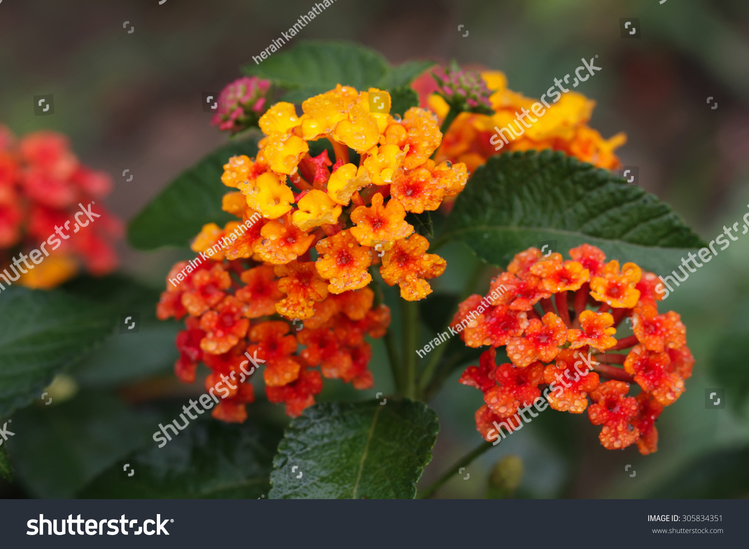 Close Red Yellow Flower Stock Photo Edit Now 305834351 Shutterstock