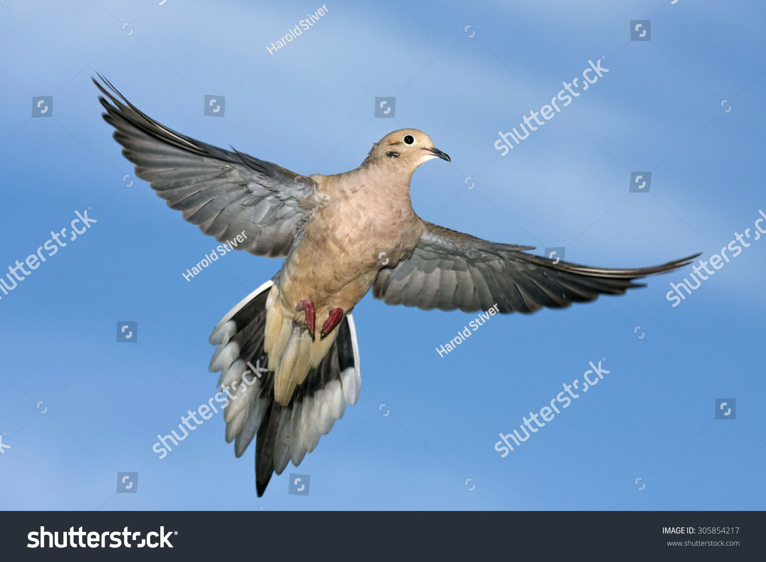 Mourning dove flight wings extended stock photo 305854217 mourning dove in flight with wings extended buycottarizona