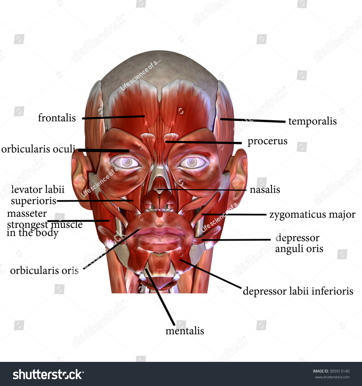 Face Muscles Stock Illustration Royalty Free Stock Illustration