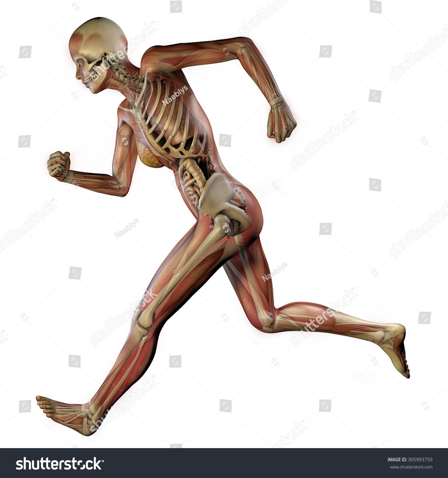 Female Body Skeletal Muscles Organs Stock Illustration 305993759