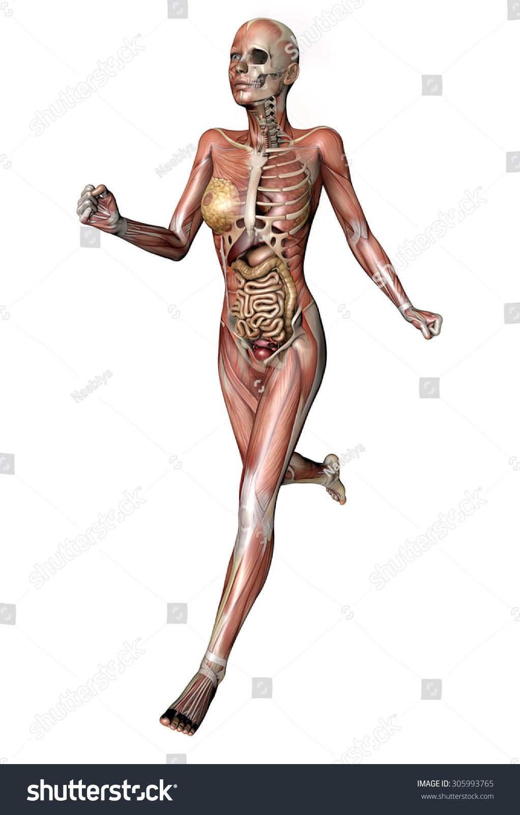 Female Body Skeletal Muscles Organs Stock Illustration 305993765