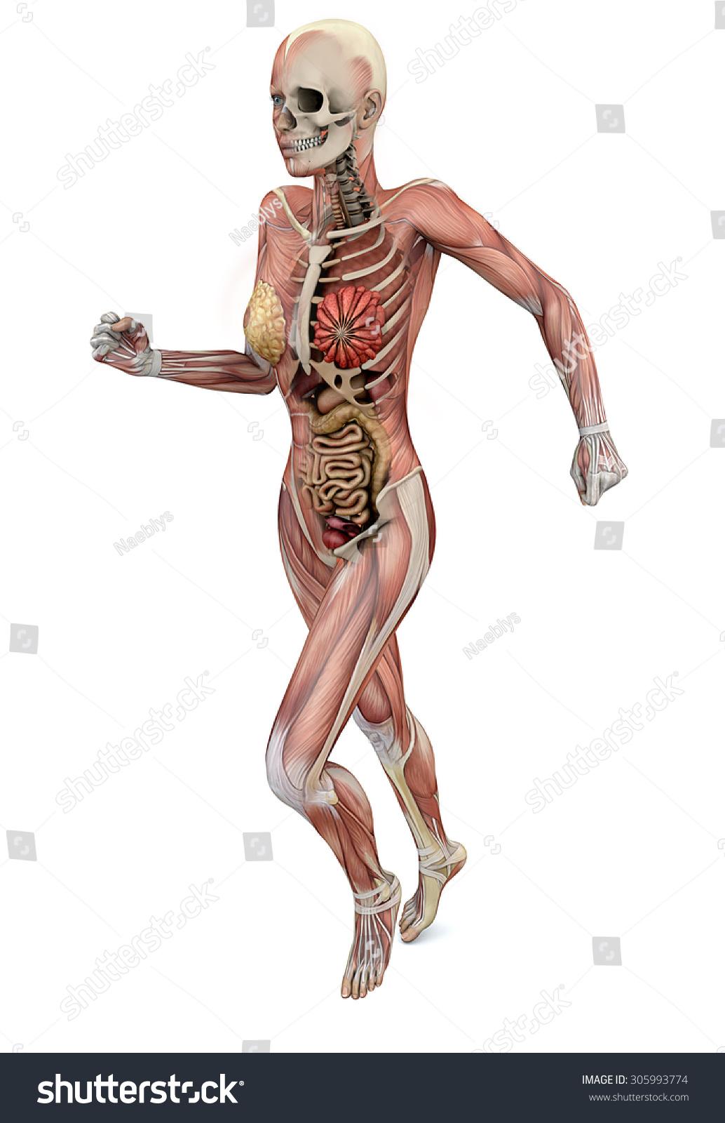 Female Body Skeletal Muscles Organs Stock Illustration 305993774