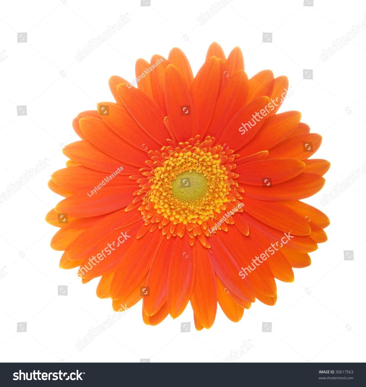 Orange Flower Of Gerbera Isolated On White Background Ez Canvas