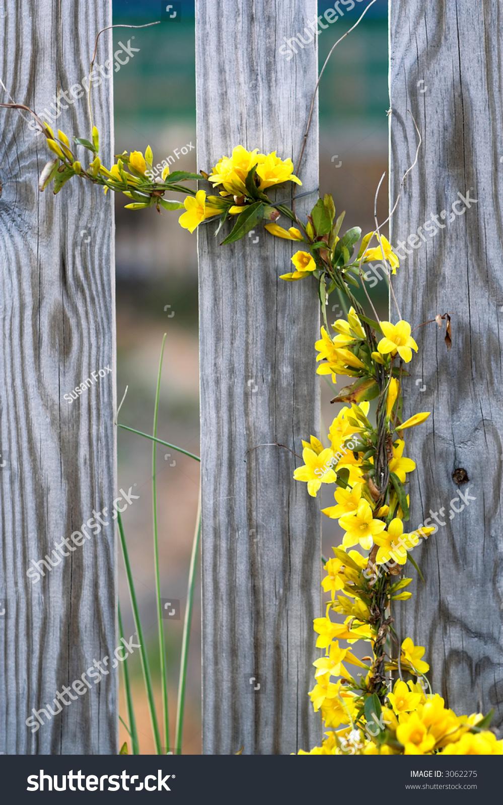 Climbing Yellow Flower Vine Stock Photo Edit Now 3062275