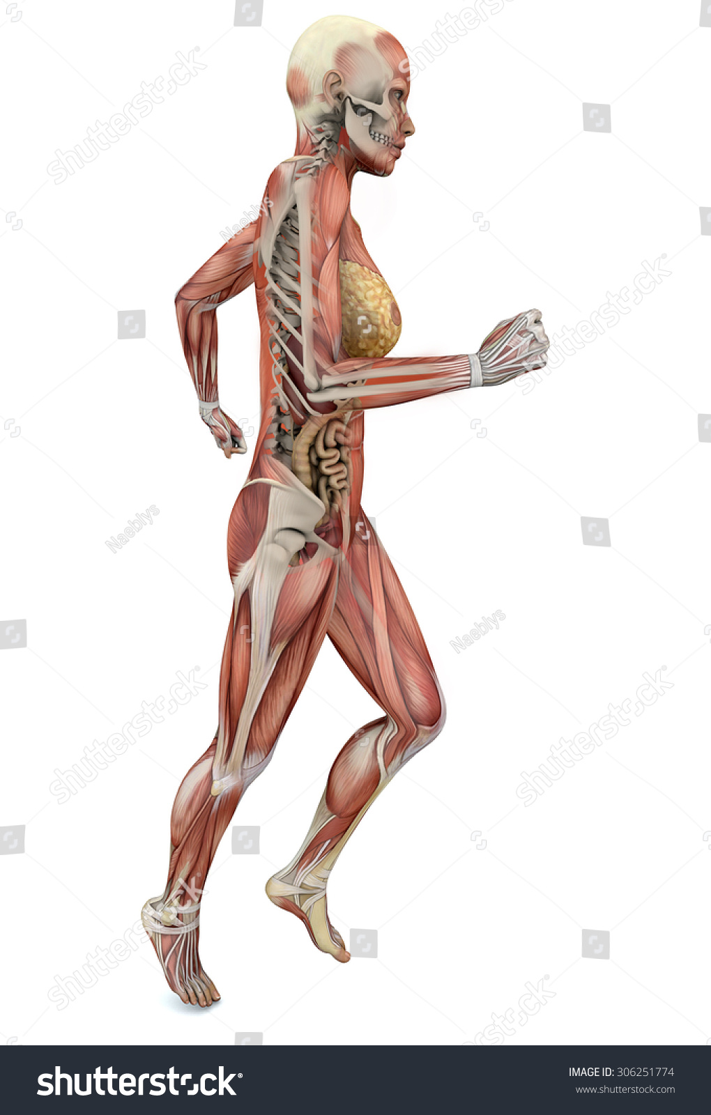 Woman Running Anatomy Body Muscles Skeleton Stock Illustration
