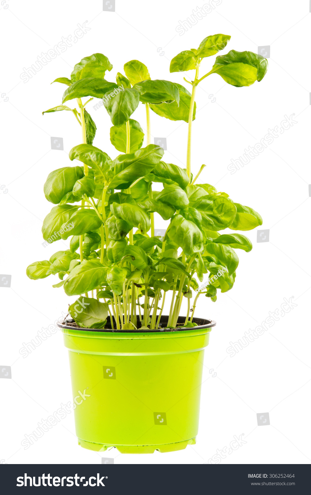 Isolated fresh basil plant in a flower pot stock photo 306252464 shutterstock - Aromatic herbs pots multiple benefits ...