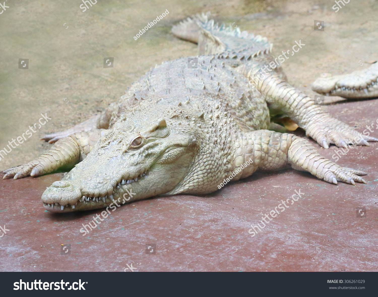 white crocodile ,albino, Close up of saltwater crocodile as emerges ...