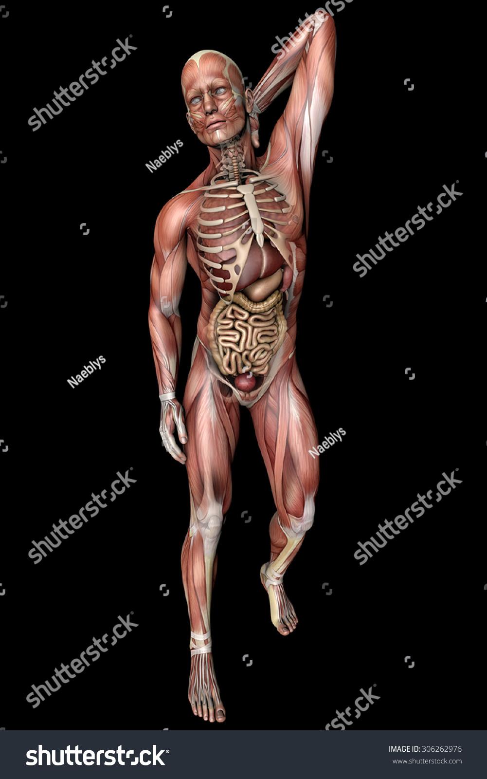Man Anatomy Body Muscles Skeleton Stock Illustration 306262976 ...