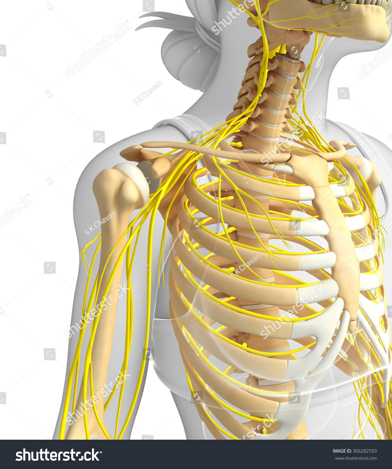 Illustration Female Ribcage Nervous System Stock Illustration