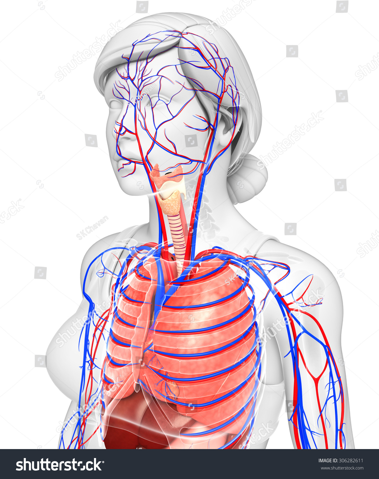 Illustration Female Respiratory Circulatory System Stock