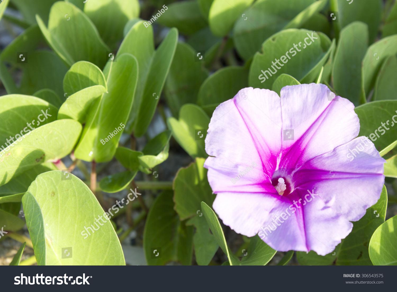 Royalty Free Beautiful Single Pink Flower Of Goats 306543575