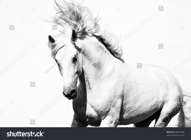 White Arabian Horse Stallion Isolated On Stock Photo Edit Now 30657088