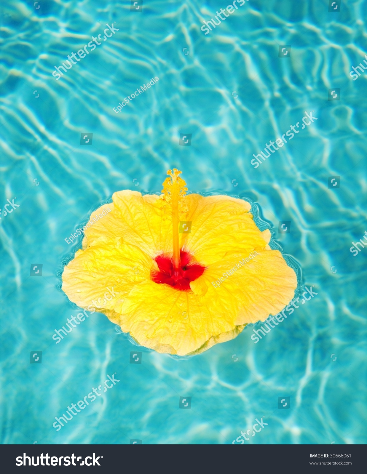 Tropical Yellow Hibiscus Flower Floating Blue Stock Photo Royalty