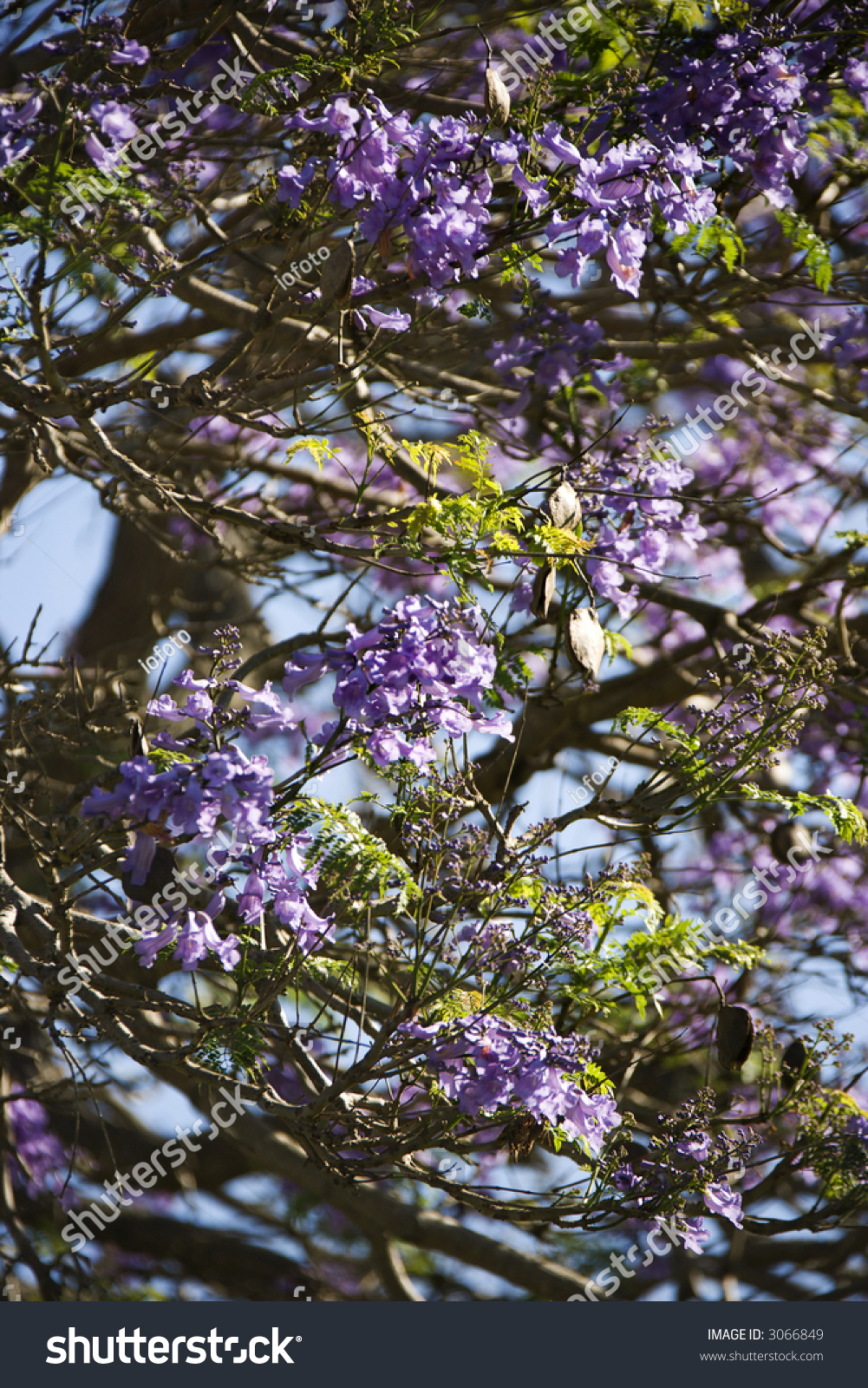 Closeup Jacaranda Tree Blooming Purple Flowers Stock Photo Edit Now