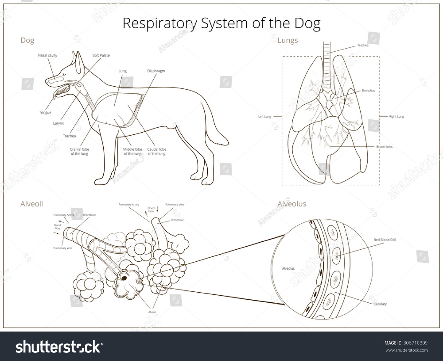 Respiratory system dog vector illustration stock vector royalty respiratory system of the dog vector illustration ccuart Choice Image