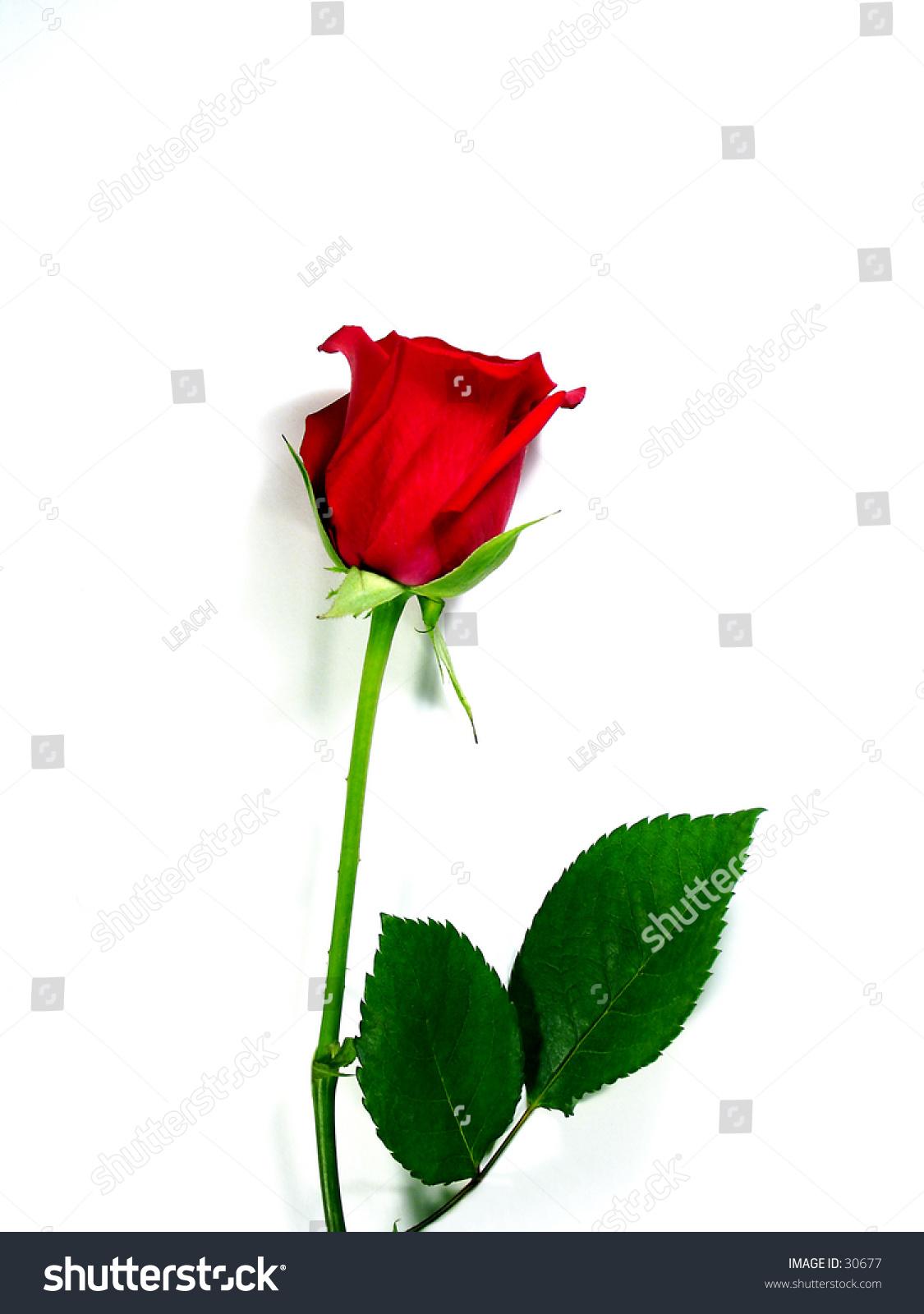 Single red rose on white symbol stock photo 30677 shutterstock single red rose on white symbol of love and romance bright white background buycottarizona