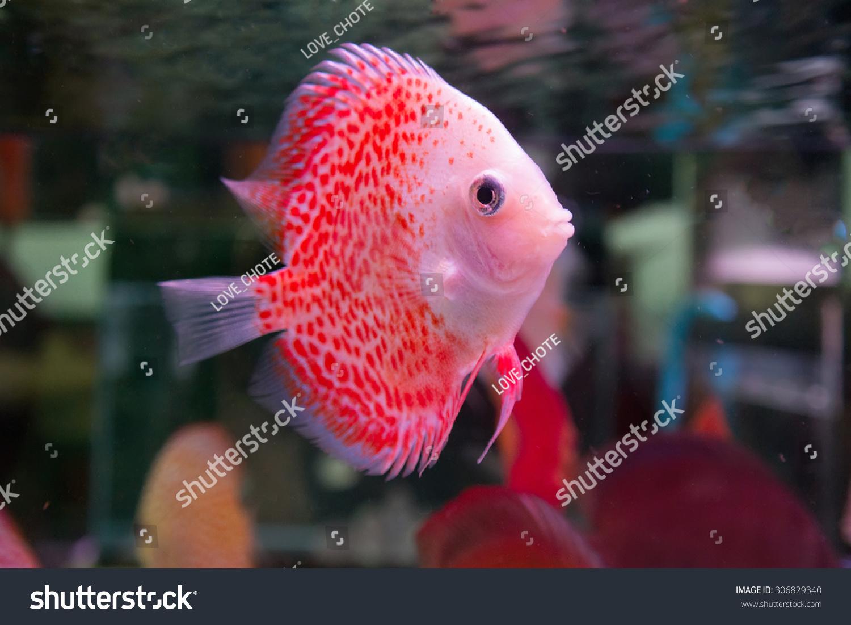Pompadour Fish Aquarium Stock Photo (Royalty Free) 306829340 ...