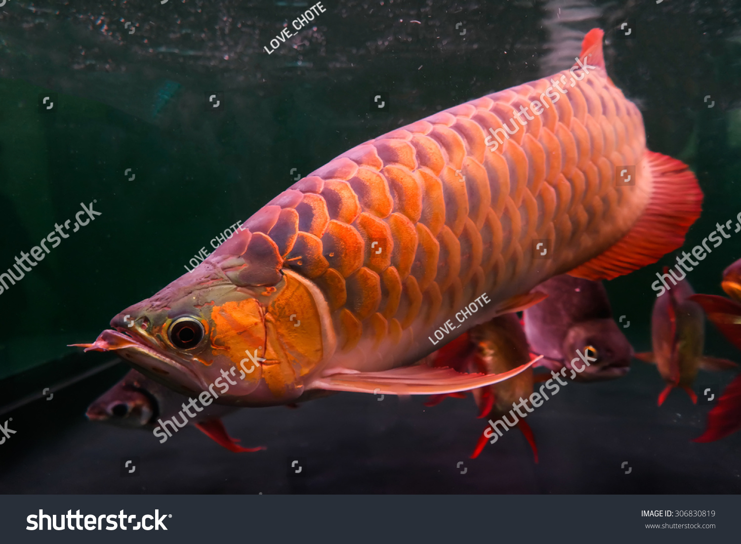 Fish for aquarium with name - Arowana Fish Name In Thailand Is Bplaa Mang Gon In The Aquarium