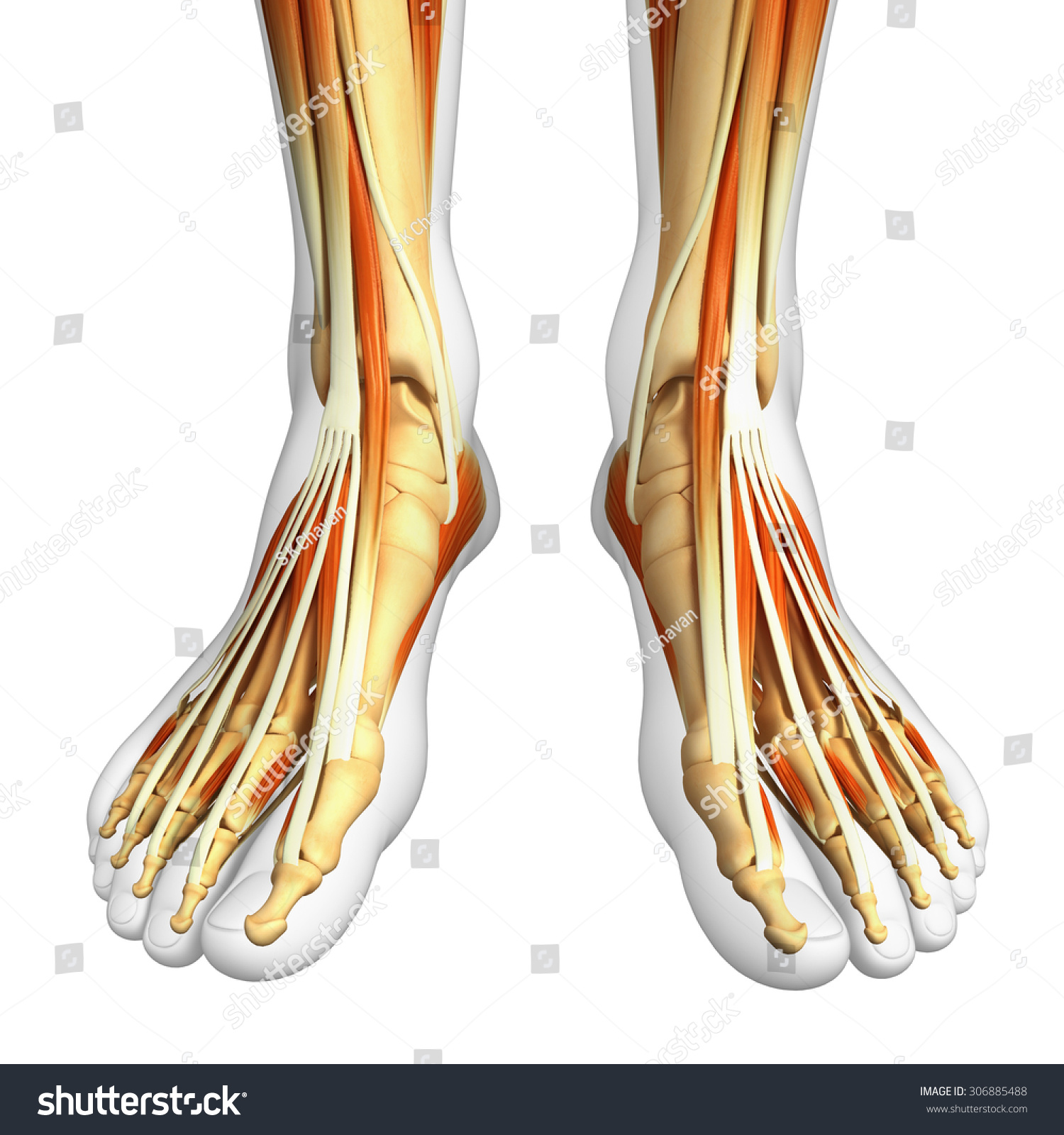 Illustration Legs Skeletal System Stock Illustration 306885488