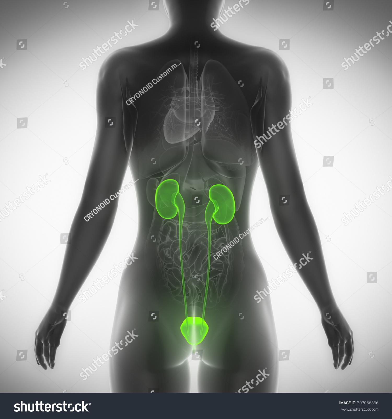 Female Urinary System Anatomy Posterior View Stock Illustration