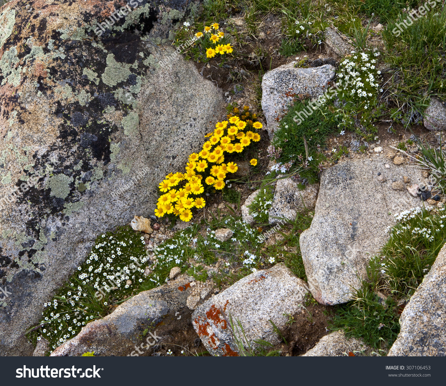 Wildflowers lichen above tundra line rocky stock photo 307106453 wildflowers and lichen above the tundra line at rocky mountain national parktundra wildflowers sciox Image collections