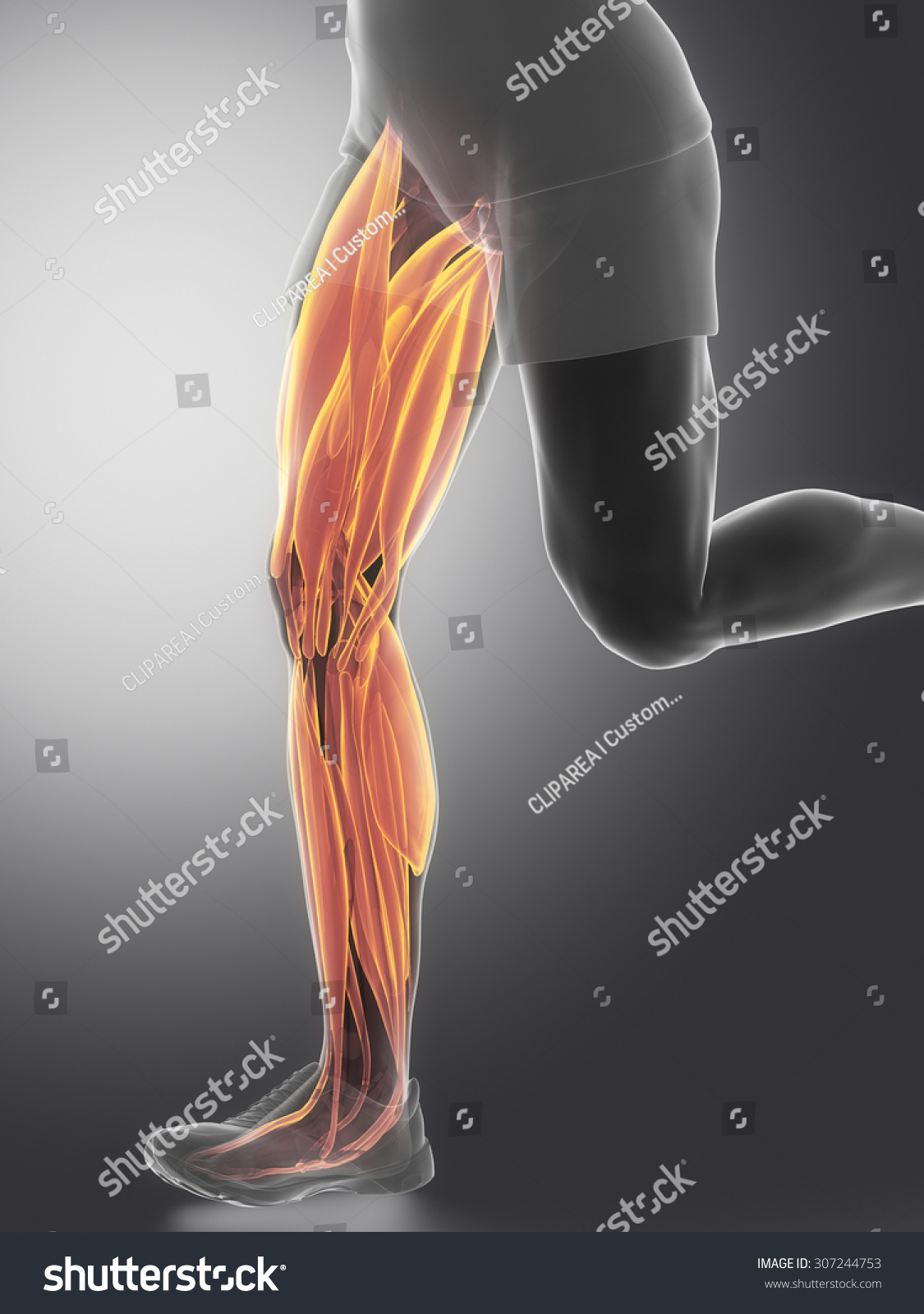 Leg Muscles Human Muscle Anatomy Stock Illustration 307244753