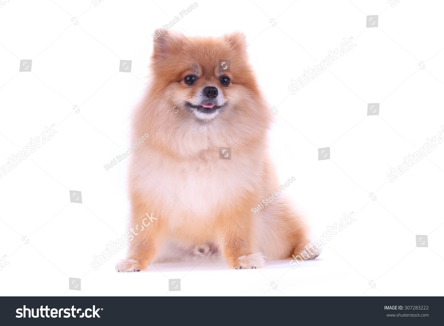 Brown Pomeranian Dog Isolated On White Background Cute Pet In Home