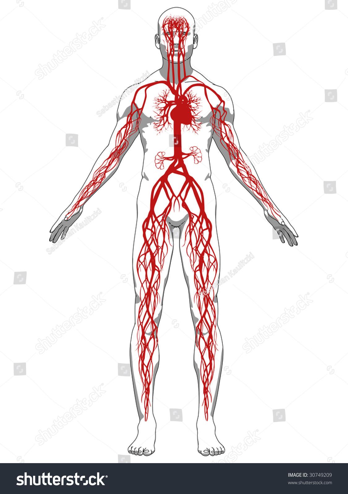 vascular system stock vector 30749209 - shutterstock, Cephalic Vein