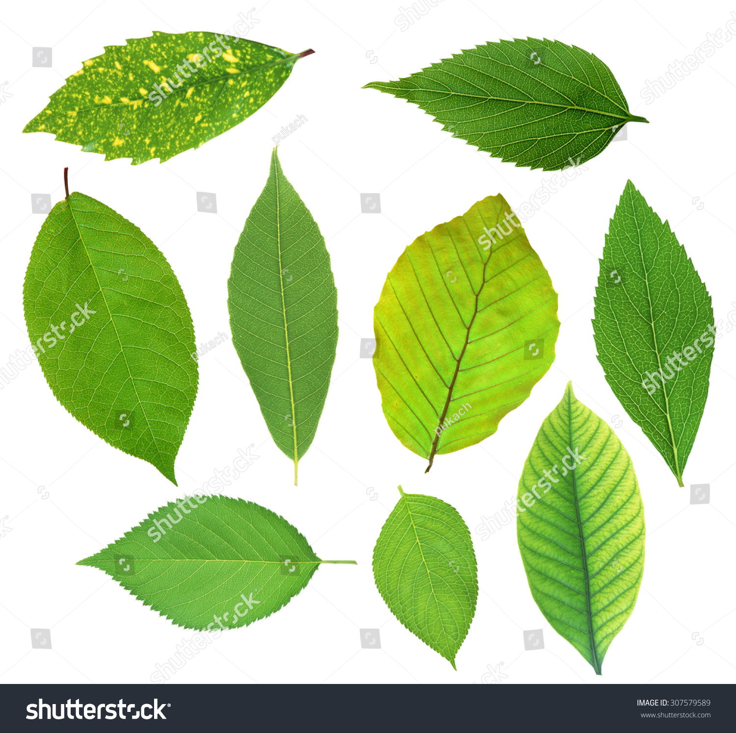 Set Beautiful Green Spring Leaves Isolated Stock Photo ...
