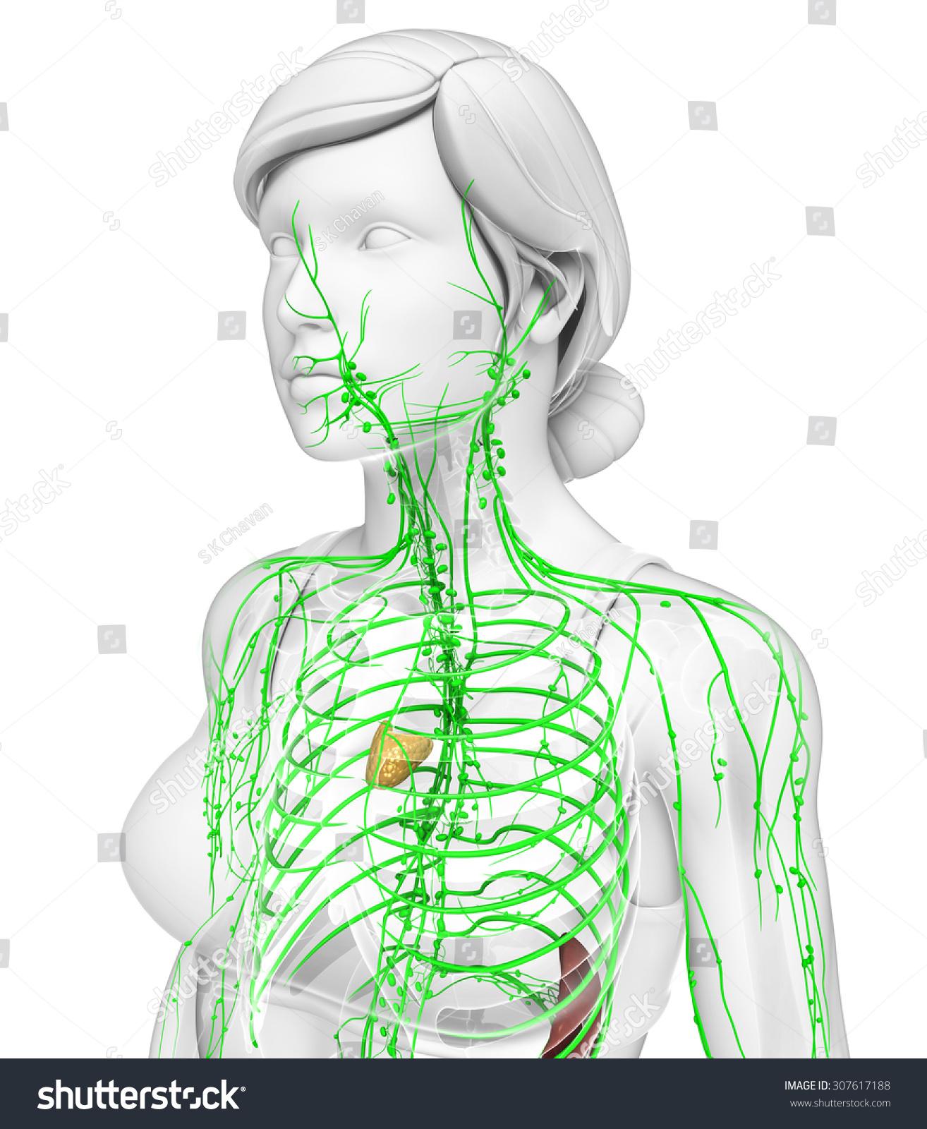 Illustration Female Body Lymphatic System Stock Illustration