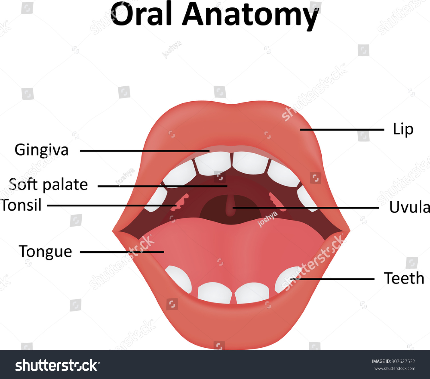 Oral Anatomy Stock Vector Royalty Free 307627532 Shutterstock
